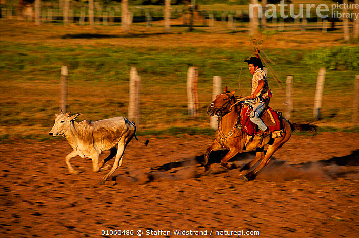 Vaqueiro / Cowboy on horseback trying to lasso cattle. Pantanal, Brazil., ACTION,CATTLE,COW,COWBOYS,GROSSO,HORSE,LANDSCAPES,LIVESTOCK,MATO,MIXED SPECIES,PEOPLE,RIDING,ROUNDING UP,TRADITIONAL,WORKING,SOUTH-AMERICA, Staffan Widstrand