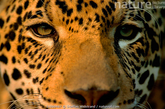 Close-up of young male Jaguar face {Panthera onca} captive Pantanal, Brazil., MAMMALS,CLOSE UPS,CARNIVORES,BRAZIL,PORTRAITS,PATTERNS,FACES,CATS,FUR,SPOTS,SOUTH AMERICA,EYES,JUVENILE, Staffan Widstrand