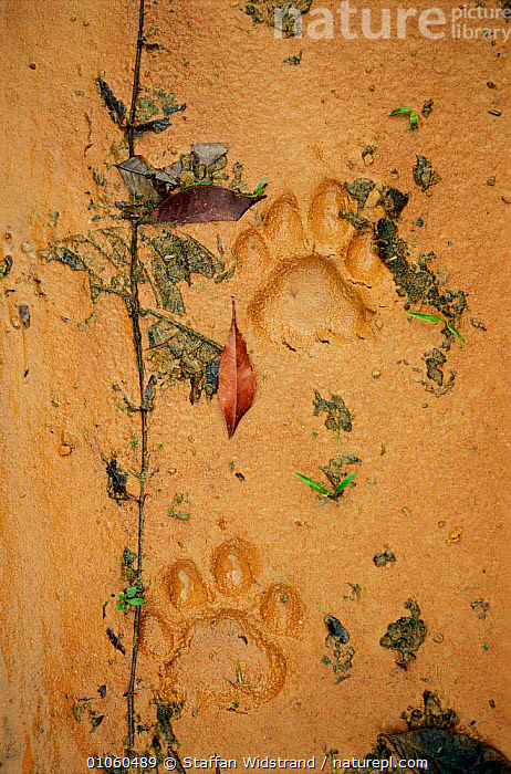 Jaguar footprint {Panthera onca} on wet sand. Pantanal, Brazil., BRAZIL,CARNIVORES,CATS,MAMMALS,SAND,SOUTH AMERICA,TRACKS, Staffan Widstrand