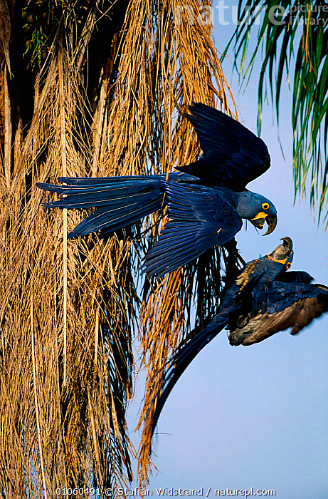Two Hyacinth macaws in tree {Anodorhynchus hyacinthinus}. Pantanal, Brazil., BIRDS,BRAZIL,COLOURFUL,FEATHERS,PARROTS,SOUTH AMERICA,TREES,VERTICAL,WINGS,Plants,Macaws, Staffan Widstrand