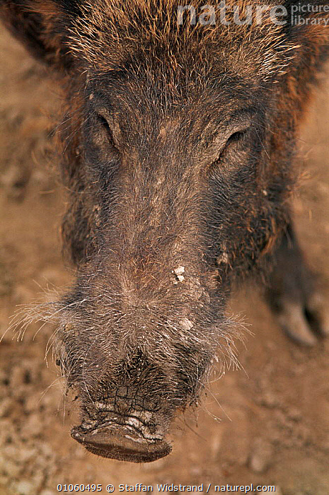 Close-up of wild boar face {Sus scrofa} France., {SUS,35,ARTIODACTYLA,CAMARGUE,CAPTIVE,CLOSE UP,CLOSE UPS,EUROPE,FACE,FACES,FRANCE,HAIR,HEADS,MAMMALS,NOSES,SCROFA},SNOUT,STAFFAN,SWI,WIDSTRAND, Staffan Widstrand