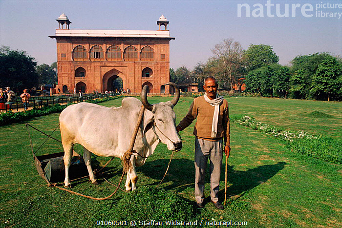 Cow pulling lawnmower in public garden, New Delhi, India., ASIA,BUILDINGS,COW,CULTURES,DELHI,GARDEN,GRASS,HOLY,INDIAN SUBCONTINENT,LAWN,LAWNMOWER,LIVESTOCK,MAMMALS,PEOPLE,PLANTS,PUBLIC,PULLING,SACRED COW,STAFFAN,SWI,TOWNS,TRADITIONAL,UNGULATES,WIDSTRAND,WORKING,INDIAN-SUBCONTINENT, Staffan Widstrand
