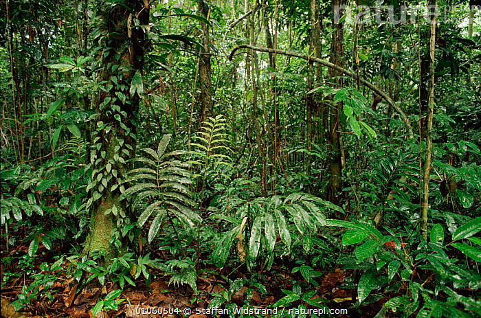 Interior of tropical rainforest understorey, Aguarico, Ecuador. South America, 35,AGUARICO,AMERICA,CONCEPTS,DIVERSITY,GREEN,HORIZONTAL,INTERIOR,LEAVES,LUSH,PEACEFUL,PLANTS,RAINFOREST,SOUTH,SOUTH AMERICA,STAFFAN,SWI,TREES,TROPICAL,TROPICAL RAINFOREST,UNDERSTOREY,VEGETATION,WET,WIDSTRAND , understory, Staffan Widstrand