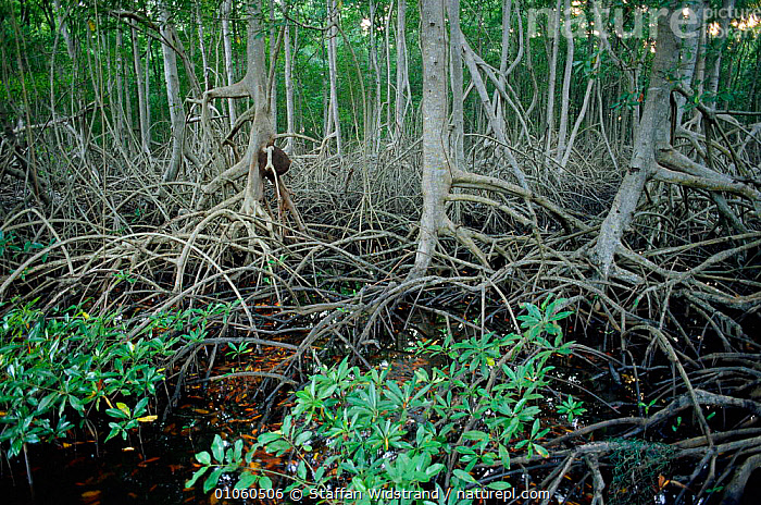 Interior of mangrove forest, Trinidad, Caribbean., COASTS,HABITAT,LANDSCAPES,MANGROVES,PLANTS,ROOTS,TREES,TRUNKS,WATER,WETLANDS,WOODLANDS,CARIBBEAN, Staffan Widstrand