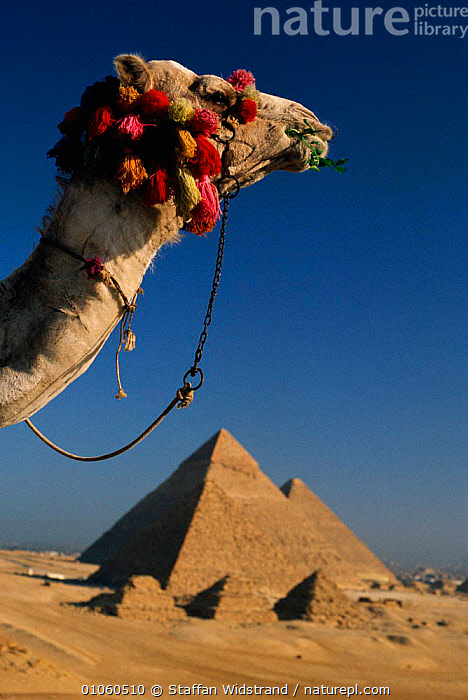 Camel's head with Pyramids of Giza in background. Cairo, Egypt., 35,AFRICA,ARCHAEOLOGY,BUILDINGS,CAIRO,CAMEL,CONCEPTS,GIZA,HEAD,HEADS,HOLIDAYS,NORTH AFRICA,PYRAMIDS,STAFFAN,SWI,TOURISM,VERTICAL,WIDSTRAND,NORTH-AFRICA,Catalogue1, Staffan Widstrand