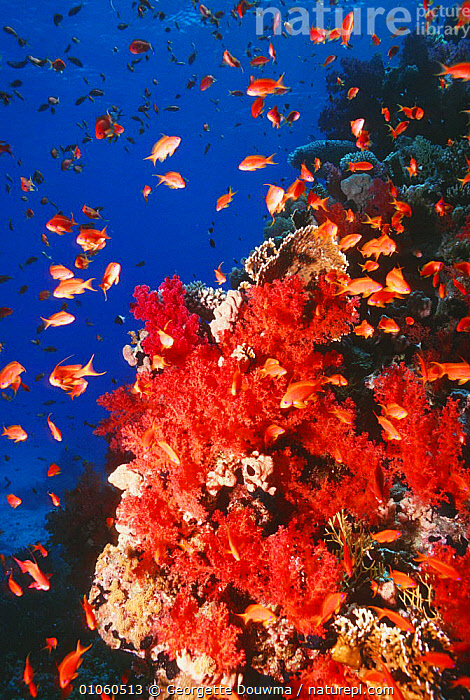 Coral reef scenic with Anthias fish and soft coral {Dendronephtya} Red Sea, Egypt, ANTHIAS,BLUE,CORAL REEFS,CORALS,FISH,GROUPS,INVERTEBRATES,LANDSCAPES,MARINE,RED SEA,TROPICAL,UNDERWATER,VERTICAL,Anthozoans, Cnidaria, Georgette Douwma
