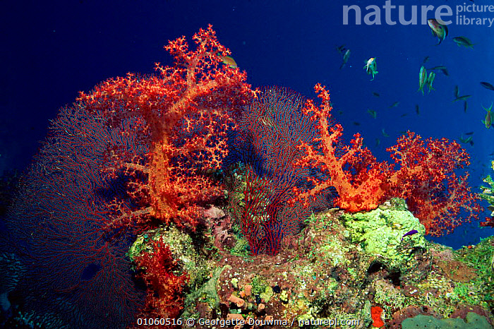 Coral reef scenic with seafan and soft coral Red Sea, Egypt, ANTHIAS,ANTHOZOANS,CNIDARIA,CORAL REEFS,CORALS,EGYPT,FISH,GD,HORIZONTAL,INVERTEBRATES,LANDSCAPES,MARINE,MIDDLE EAST,RED,REEFS,SCENIC,SEA,SEAFAN,SOFT,UNDERWATER, Cnidaria, Georgette Douwma