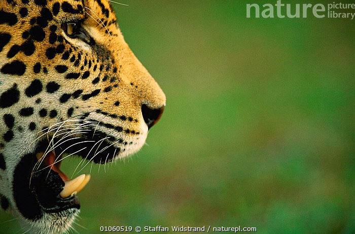 Profile of Jaguar face, mouth open {Panthera onca} captive, Pantanal, Brazil. NOT AVAILABLE FOR ADVERTISING, BRAZIL,CARNIVORES,CATS,CLOSE UPS,FACES,GROSSO,HEADS,JUVENILE,MALE,MAMMALS,MATO,MOUTHS,SOUTH AMERICA,STRIKING,TEETH, Staffan Widstrand