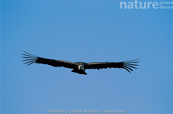 Andean condor in flight {Vultur gryphus} Arequipa, Peru., ANDES,BIRDS,FEATHERS,FLIGHT FEATHERS,FLYING,PERU,SKY,SOUTH AMERICA,VULTURES,WINGS, Staffan Widstrand