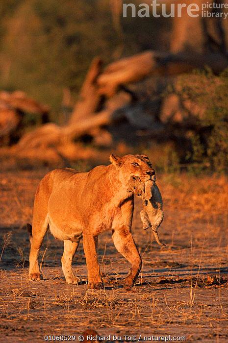 Lion {Panthera leo} mother carrying 1 mth old cub  Moremi Wildlife Res., Botswana, TOIT,AFRICA,DU,RICHARD,BABIES,CUBS,FEMALES,RDT,CARRYING,CUB,PARENTAL,SOUTHERN AFRICA,RESERVE,WILDLIFE,MOTHER,FAMILIES,MATERNAL,BOTSWANA,VERTICAL,LIONESS,CATS,MOREMI,LIONS,BIG CATS ,MAMMALS,VERTEBRATES,CATS,BIG CATS,FELIDAE,LIONS, Richard Du Toit