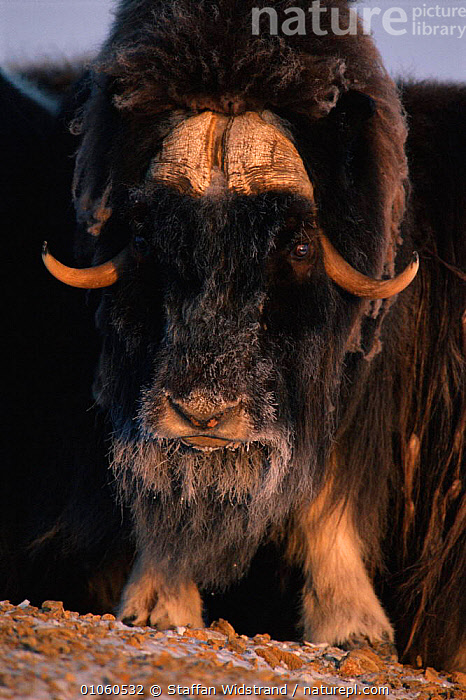 Portrait of Muskox face {Ovibos moschatus} Ellesmere Island, Canada., ARTIODACTYLA,CANADA,FACE,FACES,FROST,HAIR,HEADS,HORNS,MAMMALS,MOSCHATUS},MOUTHS,MUSK,NORTH AMERICA,OX,PORTRAIT,PORTRAITS,STAFFAN,SWI,VERTICAL,WEATHER,WIDSTRAND ,MUSK OXEN ,MUSK OX, Staffan Widstrand