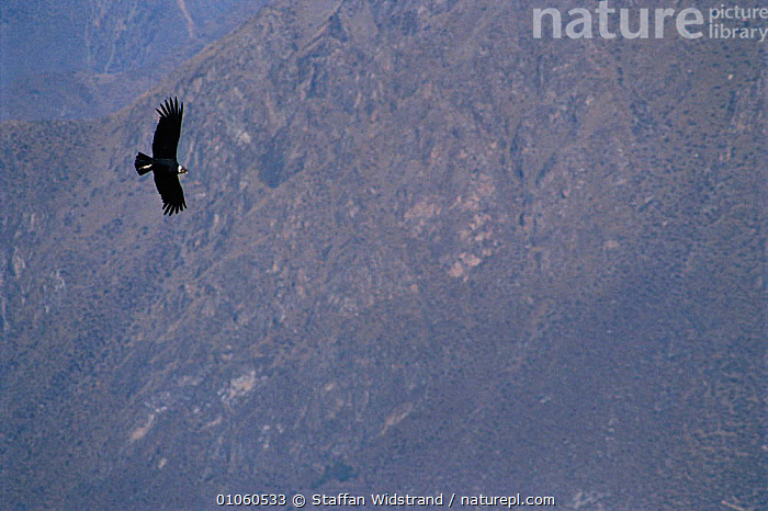 Andean condor {Vultur gryphus} in flight with mountains in background. Arequipa, Peru., ANDES,BIRDS,BIRDS OF PREY,CONCEPTS,FLIGHT,FLYING,HORIZONTAL,LANDSCAPES,MAJESTIC,MOUNTAINS,PEACEFUL,PERU,SOUTH AMERICA,STAFFAN,SWI,WIDSTRAND, Staffan Widstrand