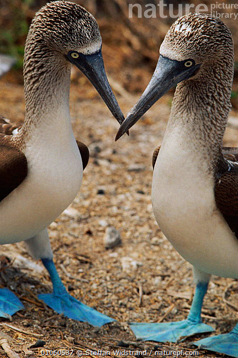 Two Blue footed boobies {Sula nebouxie} courtship display. Galapagos, Ecuador., BEAKS,BIRDS,BOOBIES,COMMUNICATION,COURTSHIP,DISPLAY,ECUADOR,FEET,GALAPAGOS,HEADS,MATING BEHAVIOUR,NEBOUXIE},REPRODUCTION,SEABIRDS,SOUTH AMERICA,STAFFAN,STANDING,SWI,TWO,VERTICAL,WIDSTRAND, Staffan Widstrand