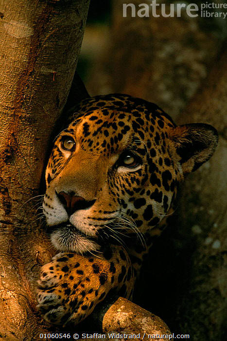 Portrait of Jaguar in tree {Panthera onca} captive Pantanal, Brazil., BRAZIL,CARNIVORES,CATS,FACES,HEADS,MAMMALS,PAWS,PORTRAITS,SHADE,SOUTH AMERICA,TREES,VERTICAL,Plants, Staffan Widstrand