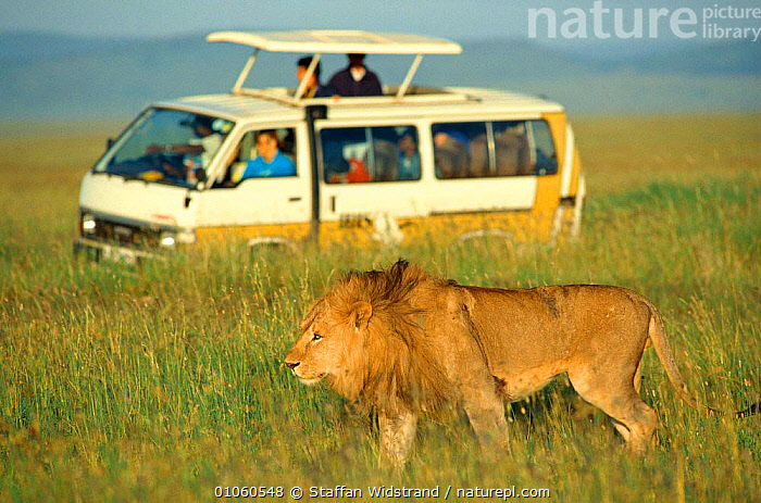 Lion {Panthera leo} in front of safari vehicle, ecotourism. Serengeti NP, Tanzania, CARNIVORES,EAST AFRICA,ECOTOURISM,GRASS,LANDROVER,MAMMALS,PEOPLE,SAVANNA,TOURISM,VEHICLES,WATCHING,Africa,Grassland,Plants,Lions,Big Cats,,Serengeti National Park, UNESCO World Heritage Site,, Staffan Widstrand