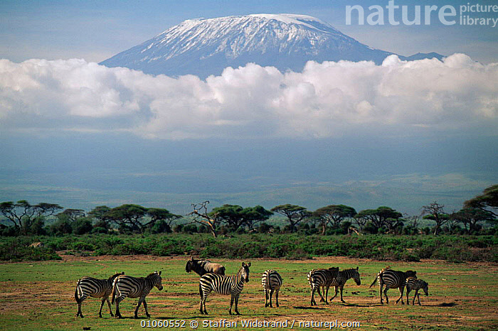 Mount Kilimanjaro above the clouds, with zebra in foreground. Amboseli NP, Kenya., AFRICA,AMBOSELI,CLOUDS,CONCEPTS,EAST AFRICA,GRASSLAND,GROUPS,HOLIDAYS,HORIZONTAL,KILIMANJARO,LANDSCAPES,MOUNT,MOUNTAINS,NATIONAL PARK,NP,PLANTS,SAVANNA,SNOW,STAFFAN,SWI,TREES,WEATHER,WIDSTRAND,ZEBRA,EAST-AFRICA, Staffan Widstrand