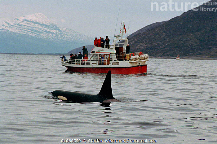Killer whale {Orcinus orca} safari, ecotourism. Tysfjord, Norway., BOATS,CETACEANS,COASTAL WATERS,CONCEPTS,ECOTOURISM,EUROPE,FINS,MOUNTAINS,NORWAY,ORCA},PEACEFUL,PEOPLE,PHOTOGRAPHY,SAFARI,SAFARIS,SCANDINAVIA,STAFFAN,SWI,TOURISM,TYSFJORD,WATCHING,WATER,WHALES,WIDSTRAND, Scandinavia, Scandinavia, Scandinavia, Scandinavia, Scandinavia, Staffan Widstrand