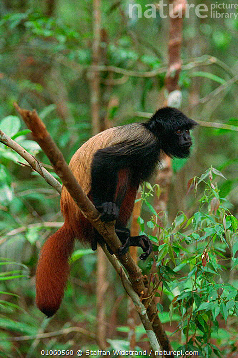 Black-headed uakari monkey {Cacajao melanocephalus} on branch. Manaus, Brazil., {CACAJAO,70,AMERICA,BLACK HEADED,BRANCH,BRANCHES,BRAZIL,CUTE,FACES,MAMMALS,MANAUS,MELANOCEPHALUS},PLANTS,PORTRAITS,PRIMATES,SOUTH,SOUTH AMERICA,STAFFAN,SWI,TREES,VERTICAL,WIDSTRAND,Monkeys, Staffan Widstrand