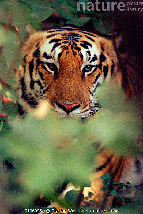 Male Tiger {Panthera tigris} through vegetation. Kanha NP, India., HEADS,FACES,ENDANGERED,CARNIVORES,VERTICAL,VEGETATION,PORTRAITS,INDIAN SUBCONTINENT,MAMMALS,INDIA,Asia,Tigers,Big Cats, Staffan Widstrand