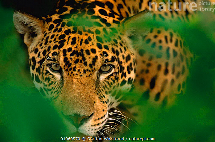 Young male Jaguar portrait {Panthera onca} Pantanal, Brazil, BRAZIL,CARNIVORES,COPY,FACES,HEADS,HORIZONTAL,MALE,MAMMALS,PANTANAL,PORTRAIT,PORTRAITS,SOUTH AMERICA,SPOTS,SWI,YOUNG,Catalogue1, Staffan Widstrand