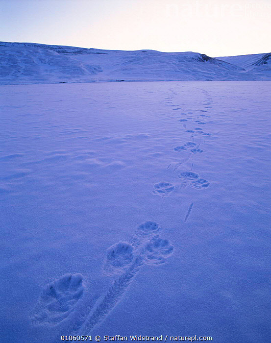Tracks of Grey (Arctic) wolf {Canis lupus} in snow. Ellesmere, Canada., {CANIS,70,ARCTIC,CANADA,CANIDS,CARNIVORES,DOGS,ELLESMERE,LUPUS},MAMMALS,NORTH AMERICA,PAW,PRINTS,SNOW,STAFFAN,SWI,TRACKS,VERTICAL,WHITE,WIDSTRAND,WILD,WOLVES, Staffan Widstrand