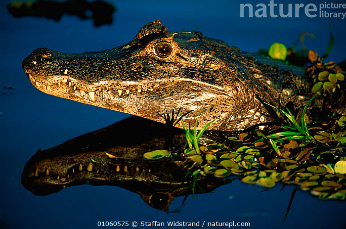 Black / Jacare caiman {Caiman niger} portrait, reflected in water. Pantanal, Brazil., BRAZIL,CAIMANS,HEADS,MOUTHS,REFLECTIONS,REPTILES,SOUTH AMERICA,TEETH,WATER,WETLANDS,Crocodylia, Caimans, Staffan Widstrand
