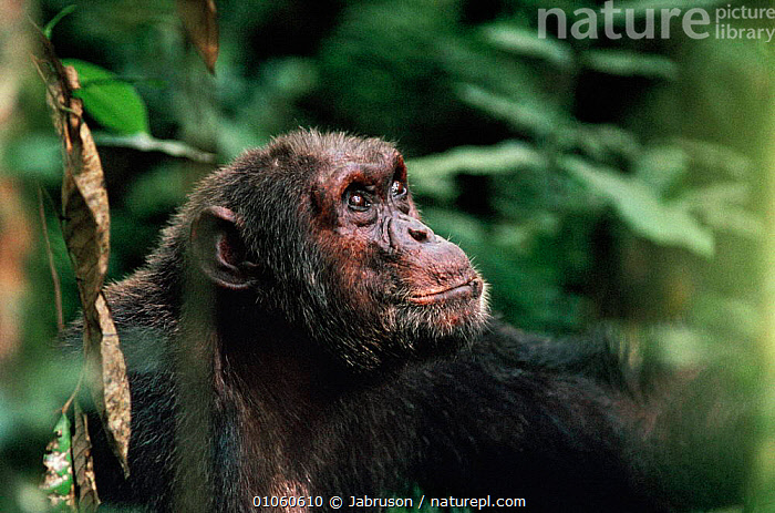 Male Chimpanzee 'Opi' {Pan troglodytes} Tongo, Virunga NP, DR of Congo, Africa, AFRICA,BDA,CENTRAL AFRICA,ENDANGERED,GREAT APES,HEAD,HORIZONTAL,MALES,MAMMALS,NATIONAL PARK,NP,OLD,PRIMATES,VIRUNGA , Bruce Davidson, Jabruson
