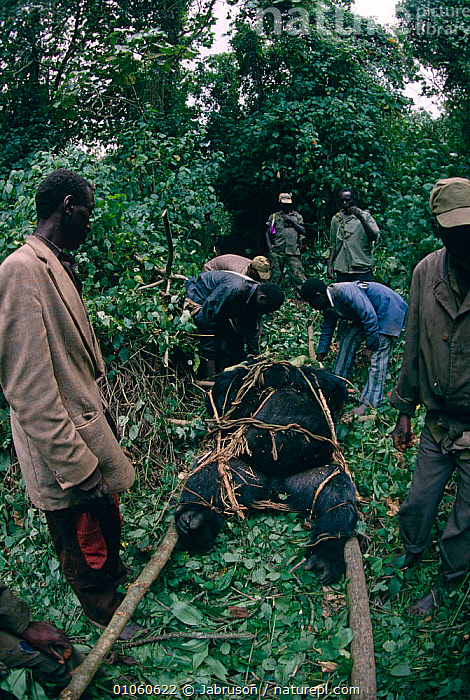 Wardens remove body of Mountain gorilla {Gorilla beringei} for post mortem, Virunga NP, Dem Rep Congo, CENTRAL AFRICA,DEATH,ENDANGERED,GREAT APES,MAMMALS,PEOPLE,PRIMATES,RESEARCH,RESERVE,TROPICAL RAINFOREST,VERTEBRATES,VERTICAL,Africa , Bruce Davidson, Jabruson