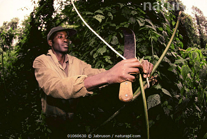 Destruction of bamboo snare by Park ranger, protecting Mountain gorillas {Gorilla beringei} Virunga NP, Democratic Republic of Congo (formerly Zaire), AFRICA,ANTI POACHING,CENTRAL AFRICA,CRUELTY,ENDANGERED,GREAT APES,GUARDING,GUARDS,MAMMALS,NP,PEOPLE,POACHING,PRIMATES,RANGERS,SNARES,TROPICAL RAINFOREST,VERTEBRATES,WARDENS,National Park , Bruce Davidson, Jabruson