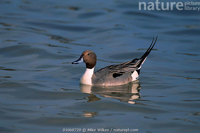 Pintail Duck {Anas acuta} USA, AMERICA,USA,BIRDS,WATER,HORIZONTAL,MIKE,WILKES,MW,WATERFOWL,NORTH AMERICA,WILDFOWL, Mike Wilkes