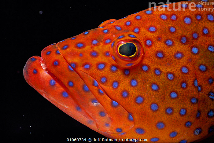 Head of Coral hind / trout {Cephalopholi miniata} Red Sea, AFRICA,CLOSE UPS,COLORFUL,COLOURFUL,EYES,FISH,HEADS,JR,MARINE,ORANGE,PROFILE,SPOTS,SPOTTED,UNDERWATER, Jeff Rotman