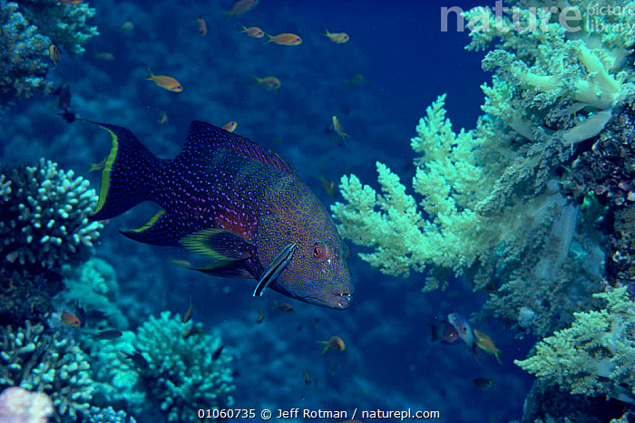 Lunar tailed grouper {Variola louti} + symbiotic Bluestreak cleaner fish {Labroides dimidiatus} Red Sea, CORAL REEFS,FISH,JR,MARINE,MIXED SPECIES,REEF,SYMBIOSIS,TROPICAL,UNDERWATER,CONCEPTS,PARTNERSHIP, Jeff Rotman