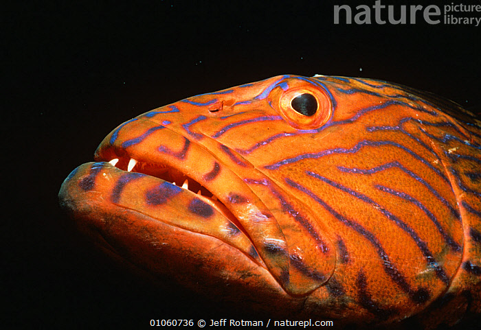 Blue lined grouper {Plectropomus oligacanthus} Papua New Guinea, FACES,FISH,GROUPERS,HEADS,INDO PACIFIC,LOW ANGLE SHOT,MARINE,ORANGE,OSTEICHTHYES,PATTERNS,TROPICAL,UNDERWATER,VERTEBRATES, Jeff Rotman