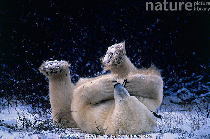 Polar bear lying on back playing with twig {Ursus maritimus} Canada Churchill,, ACTION,ARCTIC,BEARS,CARNIVORES,HUMOROUS,MAMMALS,MANITOBA,MARKETING,PLAY,SNOW,Concepts,Communication,Catalogue1, Staffan Widstrand