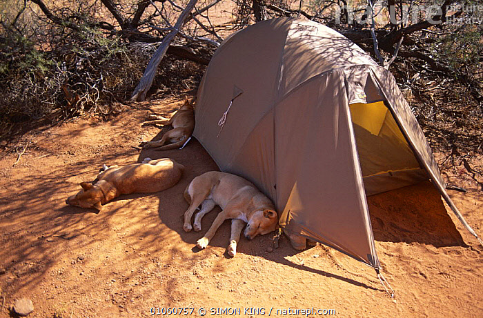 Dingos {Canis dingo} asleep in shade of photographer's tent, Australia, AUSTRALIA, CAMPING, CANIDS, CARNIVORES, dingoes, DOGS, FIELDWORK, GROUPS, heat, MAMMALS, outback, Shade, SLEEPING, tents, THREE, VERTEBRATES, SIMON KING