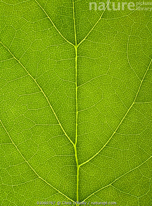 Close-up of Sycamore leaf {Acer pseudoplatanus} showing leaf veins in detail, ACERACEAE,ARTY,CLOSE UPS,DICOTYLEDONS,GREEN,LEAVES,PLANTS,TREES,VERTICAL, Chris O'Reilly