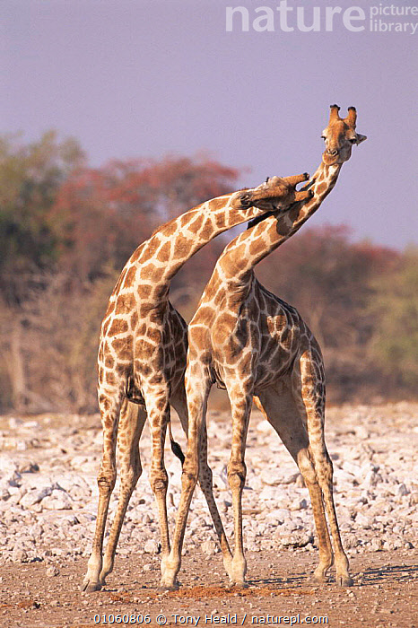 Two male giraffe {Giraffa camelopardalis} necking (sparring), Etosha NP, Namibia, MALE,HEALD,VERTICAL,NP,TONY,DISPLAY,NAMIBIA,NECKING,TH,ARTIODACTYLA,FIGHTING,MAMMALS,PORTRAITS,DOMINANCE,ETOSHA,TWO,SOUTHERN AFRICA,SPARRING,AGGRESSION,COMMUNICATION,NATIONAL PARK,Concepts, Tony Heald