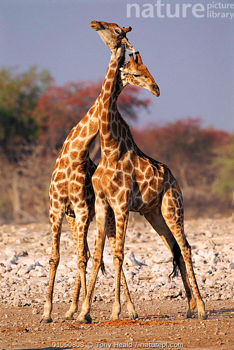 Two male giraffe {Giraffa camelopardalis} necking (sparring), Etosha NP, Namibia, ARTIODACTYLA,DISPLAY,SOUTHERN AFRICA,SPARRING,HEALD,MAMMALS,NECKING,TH,TWO,MALE,NP,DOMINANCE,TONY,ETOSHA,VERTICAL,AFRICA,NAMIBIA,FIGHTING,PORTRAITS,AGGRESSION,COMMUNICATION,NATIONAL PARK,Concepts, Tony Heald