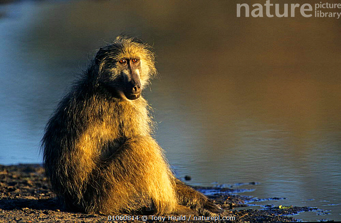 Portrait of Chacma baboon {Papio ursinus} sitting by water, Kruger NP, South Africa, AFRICA,BABOONS,CUTE,FACES,HORIZONTAL,MAMMALS,MONKEYS,NP,PORTRAITS,PRIMATES,SITTING,SOUTHERN AFRICA,VERTEBRATES,WATER,National Park, Tony Heald