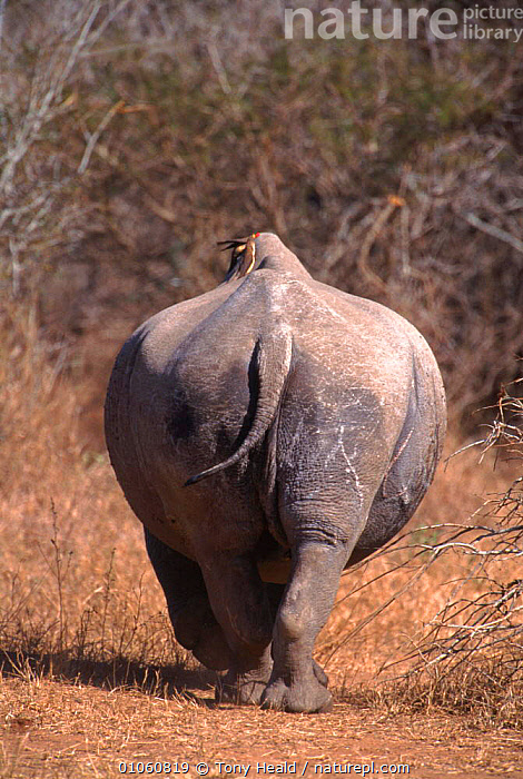 Rear view of White rhinoceros (Ceratotherium simum) with bird on back. Kruger NP, South Africa, BIRDS,SOUTH,TAILS,VIEW,VERTICAL,ENDANGERED,SOUTHERN AFRICA,KRUGER,RHINO,AFRICA,PERISSODACTYLA,PORTRAITS,REAR,VELDT,HUMOROUS,NP,GRASSLAND,CONCEPTS,NATIONAL PARK rhino, rhinoceros, rhinos,,National Park, Tony Heald
