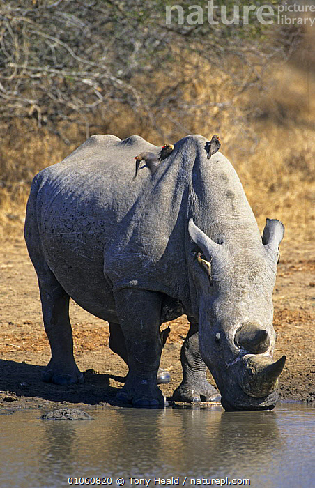 White rhinoceros {Ceratotherium simum} drinking, with oxpeckers on body, Kruger NP, South Africa, AFRICA,BIRDS,DRINKING,ENDANGERED,MAMMALS,MIXED SPECIES,NP,PERISSODACTYLA,PORTRAITS,RHINOCEROSES,SOUTHERN AFRICA,VERTEBRATES,VERTICAL,WATER,National Park, Tony Heald