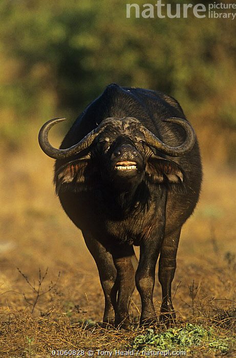 African buffalo (Syncerus caffer) scenting, flehmen response, Kruger NP, South Africa, ARTIODACTYLA,BOVIDS,BUFFALOS,HUMOROUS,MAMMALS,MATING BEHAVIOUR,MOUTHS,NP,SOUTHERN AFRICA,VERTEBRATES,VERTICAL,Concepts,Reproduction,National Park, Tony Heald