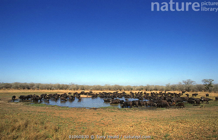 Large herd of African buffalo drinking at waterhole (Syncerus caffer) Kruger NP, South Africa, AFRICA,ARTIODACTYLA,BOVIDS,BUFFALOS,GROUPS,HABITAT,HERDS,LANDSCAPES,LARGE,MAMMALS,MASS,NP,RESERVE,SAVANNA,SOUTHERN AFRICA,VERTEBRATES,WATER,WATERHOLE,Grassland,National Park,Cattle, Tony Heald