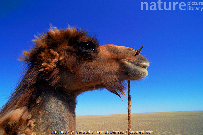 Male domestic Bactrian camel {Camelus bactrianus} rope through nose to controll it, Gobi desert, Mongolia, ARTIODACTYLA,CONTROLLING,DESERT,DESERTS,DOMESTIC,EYES,FACES,GDE,GERTRUD,GOBI,HEADS,IS,MALE,MAMMALS,MONGOLIA,NEUMANN DENZAU,NOSE,PORTRAITS,PROFILE,ROPE,STICK, Gertrud & Helmut Denzau
