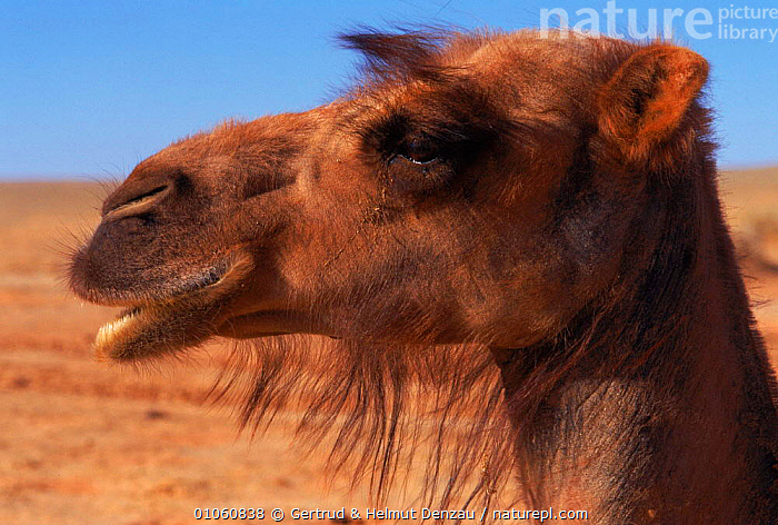 Domestic Bactrian camel {Camelus bactrianus} - hair round eyes is adaptation to deserts, prevent sand blowing in eyes. Gobi desert, Mongolia. (Hair is adaptation to deserts, prevent sand blowing in eyes)  ,  ARTIODACTYLA,DESERT,DESERTS,DOMESTIC,EYES,FACES,GDE,GERTRUD,GOBI,HAIR,HEADS,HORIZONTAL,MONGOLIA,NEUMANN DENZAU,PORTRAITS,PROFILE,SAND,SANDSTORM  ,  Gertrud & Helmut Denzau