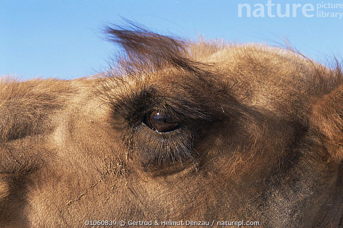 Domestic Bactrian camel {Camelus bactrianus} hair round eyes protects against sandstorm, ARTIODACTYLA,CAMELIDS,CAMELS,CLOSE UPS,DESERTS,ENDANGERED,EYES,FACES,HAIR,HEADS,HORIZONTAL,MAMMALS,MONGOLIA, Gertrud & Helmut Denzau