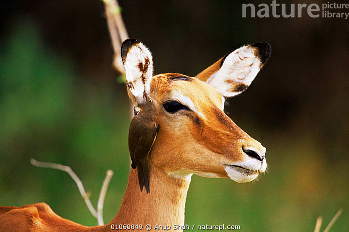 Head portrait of Impala {Aepyceros melampus} with Oxpecker bird, Masai Mara, Kenya, ARTIODACTYLA,BIRDS,BOVIDS,EAST AFRICA,FACES,GROOMING,HEADS,IMPALAS,MAMMALS,MIXED SPECIES,PORTRAITS,SYMBIOSIS,VERTEBRATES,Africa,Concepts,Partnership,Antelopes, Anup Shah