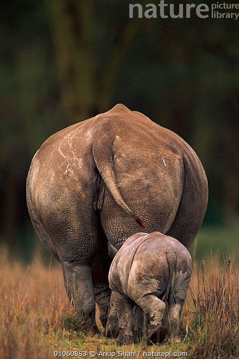 Rear view of juvenile & adult White rhinoceros {Ceratotherium simum} Lake Nakuru NP, Kenya, ENDANGERED,BACKSIDE,JUVENILE,PERISSODACTYLA,NP,TAILS,MAMMALS,KENYA,SHAH,FAMILIES,ADULT,EAST AFRICA,VERTICAL,YOUNG,ANUP,AS,AFRICA,NATIONAL PARK,Catalogue1 , rhino, rhinos, rhinoceros, , rhino, rhinos, rhinoceros,, Anup Shah