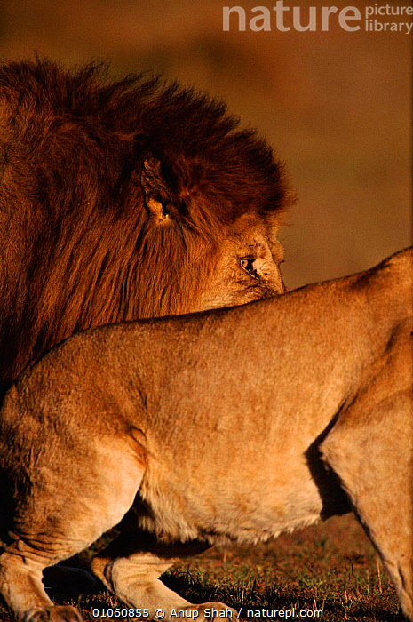 Male Lion (Panthera leo) above other lion's back. Masai Mara NR, Kenya, East Africa, VERTICAL,BACK,MARA,ARTY SHOTS,MANE,HEADS,MENACING,ABSTRACT,CARNIVORES,MASAI,TWO,EAST AFRICA,MALE,MASAI MARA,KENYA,EYES,FACES,MAMMALS,BIG,NR,AFRICA,LIONS,BIG CATS, Anup Shah