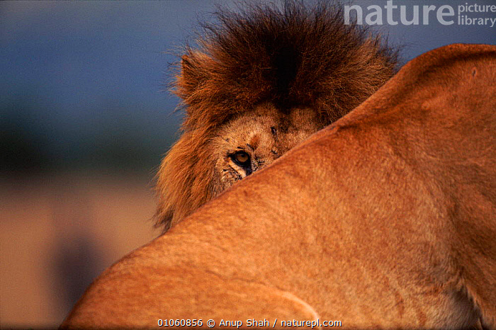 Lion {Panthera leo} male looking over other lion's back, Masai Mara NR, Kenya, HEAD,HEADS,MASAI MARA,EYES,RESERVE,AS,EAST AFRICA,CARNIVORES,MAMMALS,SHAH,KENYA,CATS,MALE,NR,ANUP,HORIZONTAL,FACES,AFRICA,LIONS,BIG CATS,Catalogue1, Anup Shah